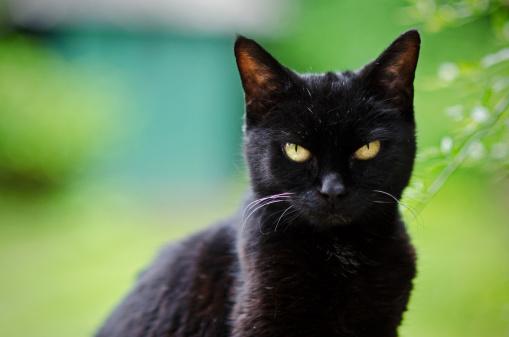 Black Cat - Not Amused!