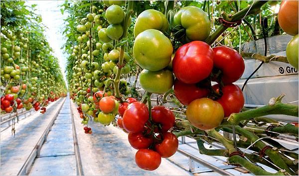 gajenje-paradajza-u-plastenicima