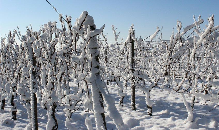 effet-gel-vigne